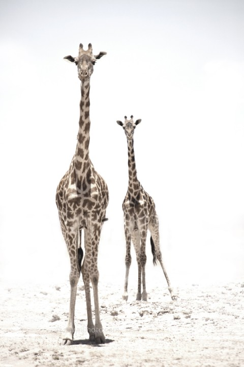 giraffes_white_heat