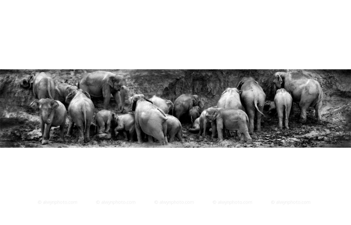 elephants_herd_instinct_2