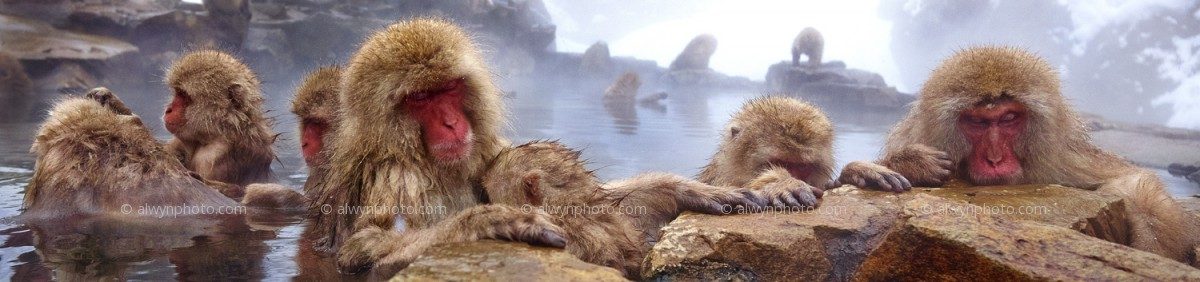 SNOW_MONKEYS