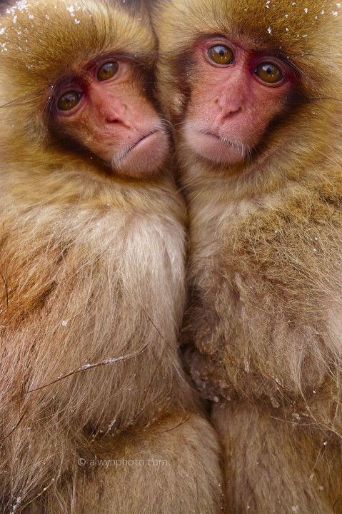 Baby_snow_monkeys
