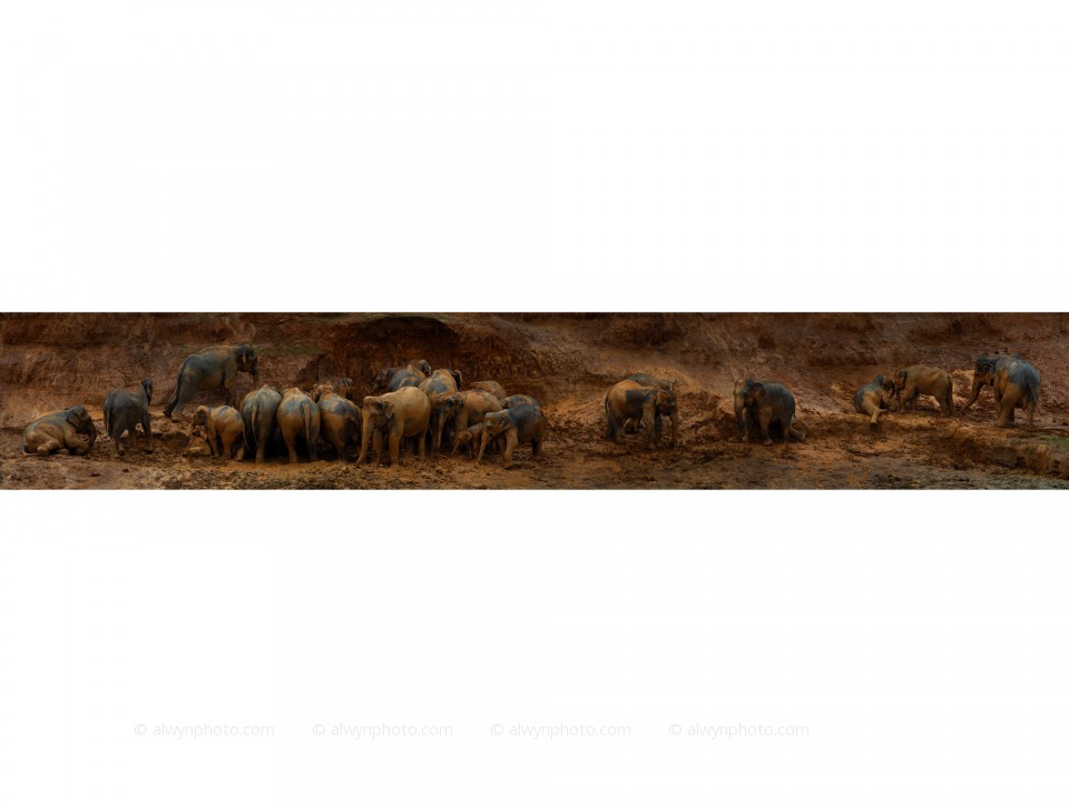 Herd_instinct_23_elephants_ssrilanka_